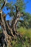 Gammalt träd Arkivbilder