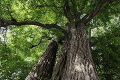 Gammalt träd av den PekingTanze templet Royaltyfri Foto