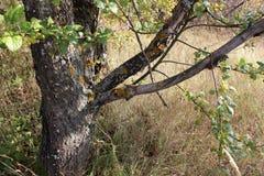 Gammalt träd för landskap Arkivbild