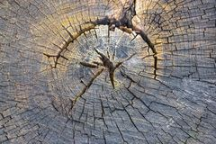 Gammalt träd för runt snitt royaltyfri foto