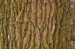 Gammalt träd för skäll Arkivfoton