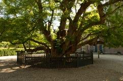 Gammalt träd för svart gräshoppa royaltyfri fotografi