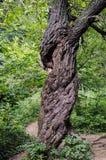Gammalt träd i den Bieszczady nationalparken i Polen Arkivfoton