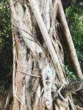 Gammalt träd i lös strand i Goa, Indien Royaltyfria Foton