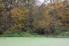 Gammalt träd i moras Royaltyfri Fotografi