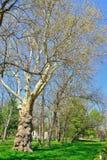 Gammalt träd i parkera Arkivbilder