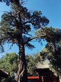 Gammalt träd i Peking, Kina royaltyfri foto