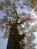 Gammalt träd i Ryssland royaltyfria bilder
