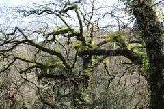 Gammalt träd i Spanien arkivfoton