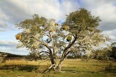 Gammalt träd i Terra del Fuego Royaltyfri Bild