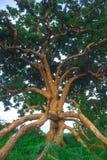 Gammalt träd många filialer Arkivbilder