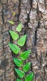 Gammalt träd med den gröna vinrankan på den Royaltyfri Fotografi