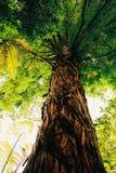 Gammalt träd med ett unikt skäll Arkivbilder