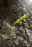 Gammalt träd med ny groende Royaltyfri Foto