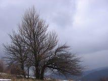Gammalt träd nära Grza Royaltyfri Fotografi