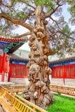 Gammalt träd nära templet av Konfucius på Peking - de andra largesna Fotografering för Bildbyråer