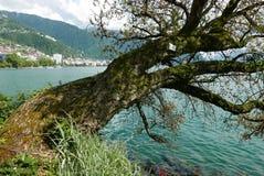 Gammalt träd på Clarens på sjöGenève fotografering för bildbyråer