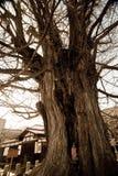 Gammalt träd på den Hida Kokubunji templet arkivfoton
