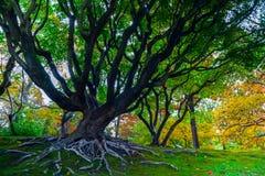 Gammalt träd på den Missouri botaniska trädgården royaltyfri foto
