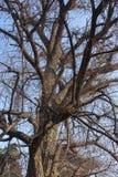 Gammalt träd på den Shaolin templet Arkivbild