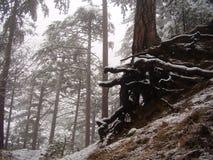 Gammalt träd på en berglutning Arkivfoto