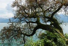 Gammalt träd på sjöGenève royaltyfri foto