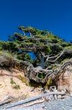 Gammalt träd på stranden arkivbilder