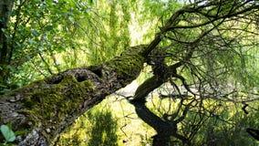 Gammalt träd reflekterat i vattnet Arkivfoto