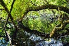 Gammalt träd reflekterat i vattnet Fotografering för Bildbyråer