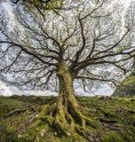 Gammalt träd, Skottland Royaltyfria Bilder