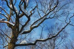 Gammalt träd under snön royaltyfri fotografi