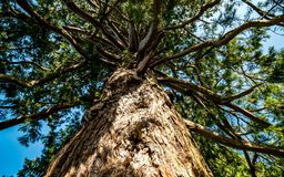 Gammalt träd underifrån royaltyfri fotografi