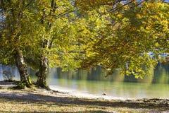 Gammalt träd vid Bohinj sjön Fotografering för Bildbyråer