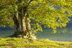 Gammalt träd vid Bohinj sjön Royaltyfri Foto