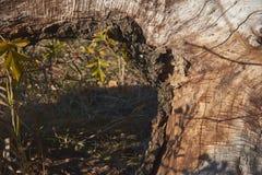 Gammalt trädskäll med inget synligt gräs royaltyfria foton
