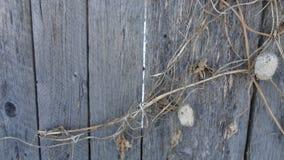 Gammalt trästaket som övervintrar torr retro växtbybygd arkivfoto