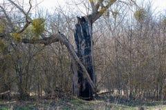 Gammalt tr?d som d?das av blixt?skv?der Blixt slogg ett träd royaltyfri foto