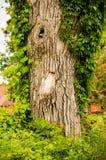Gammalt träd med med Knothole Arkivbilder