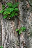 gammalt treebarn för filial Fotografering för Bildbyråer