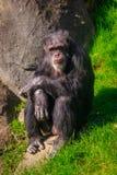 gammalt vila för schimpans Royaltyfri Fotografi