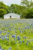 Gammalt vitt hus i bluebonnets Arkivfoton