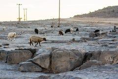 Gamme montagnose di gregge collinoso di area dell'Oman delle capre e del ro delle pecore Immagine Stock