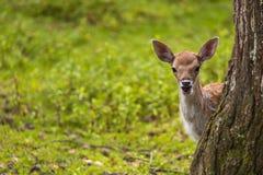 Gamos do close-up na natureza selvagem fotografia de stock