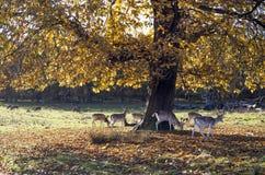 Gamos, parque de Tatton, Cheshire Fotos de Stock