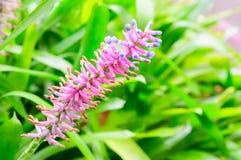 Gamosepala de Aechmea, Bromeliaceae Foto de archivo
