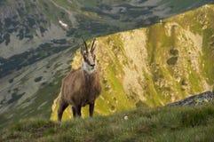 Gamuza curiosa de Tatra en las montañas Foto de archivo