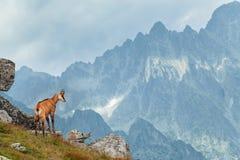 Gamuza de Tatra en la altura Tatras Fotografía de archivo libre de regalías