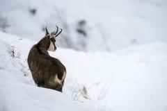 Gamuza en la nieve de las montañas Fotos de archivo