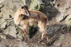 Gamuza en la roca escarpada, República Checa, Europa Imagen de archivo libre de regalías