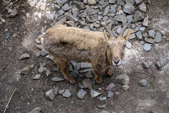 Gamuza /Goat Fotos de archivo